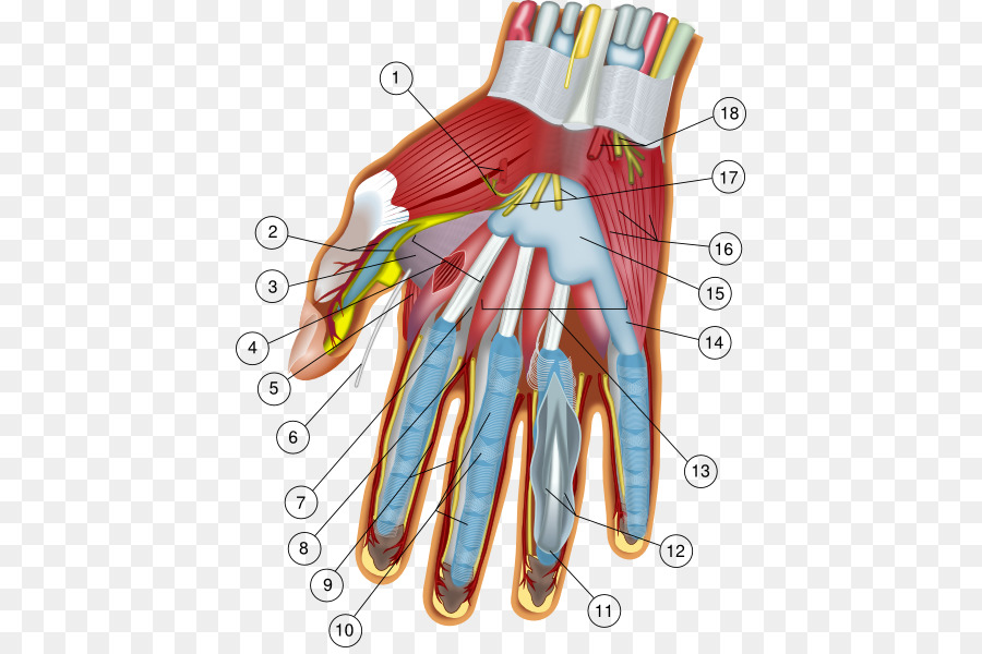 Hand Wrist Anatomy Carpal bones Finger - Anatomy Cliparts png ...