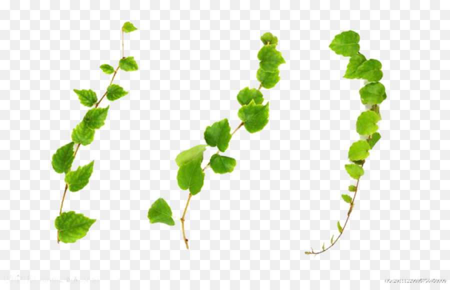 common ivy vine plant stock photography vines are