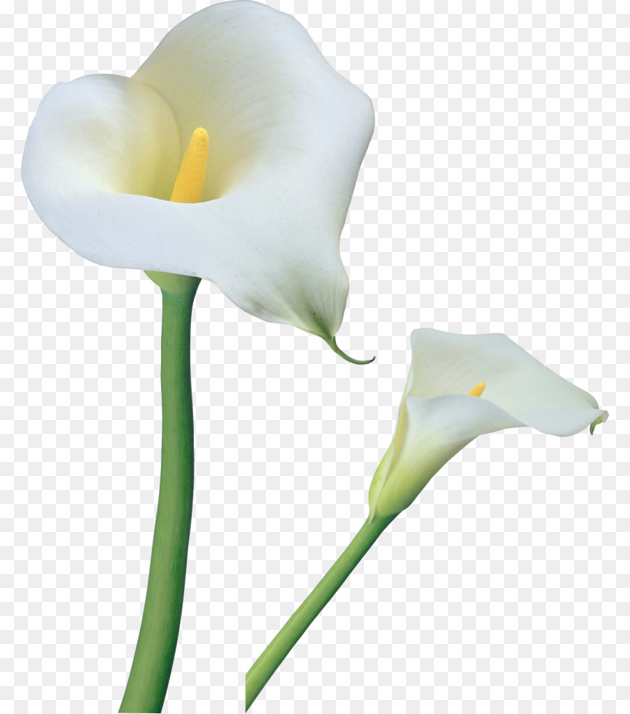 Arum Lily Tiger Lily Flower Clip Art Calla Png Download 8401019