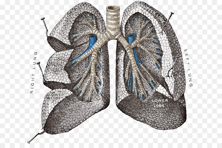 Grays Anatomy Lung Respiratory System Lungs Png Transparent