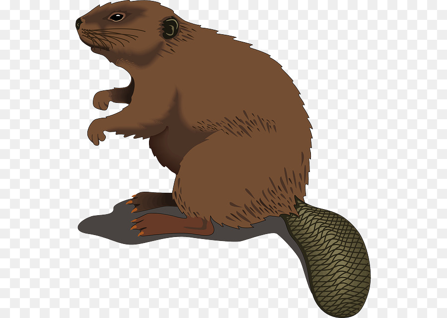 Beaver Clip art - Shaved Beaver Cliparts png download - 595*640 - Free  Transparent Beaver png Download.