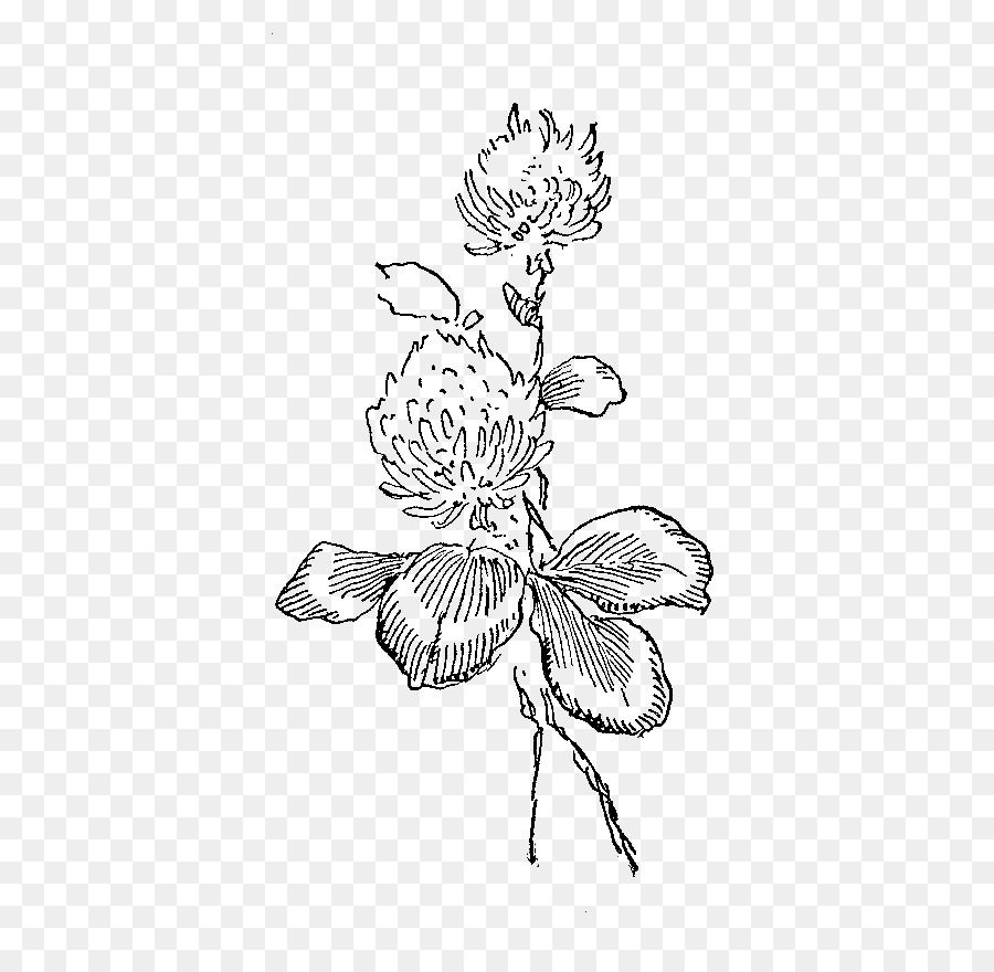 White Clover Red Clover Flower Illustration Flowers Illustrations