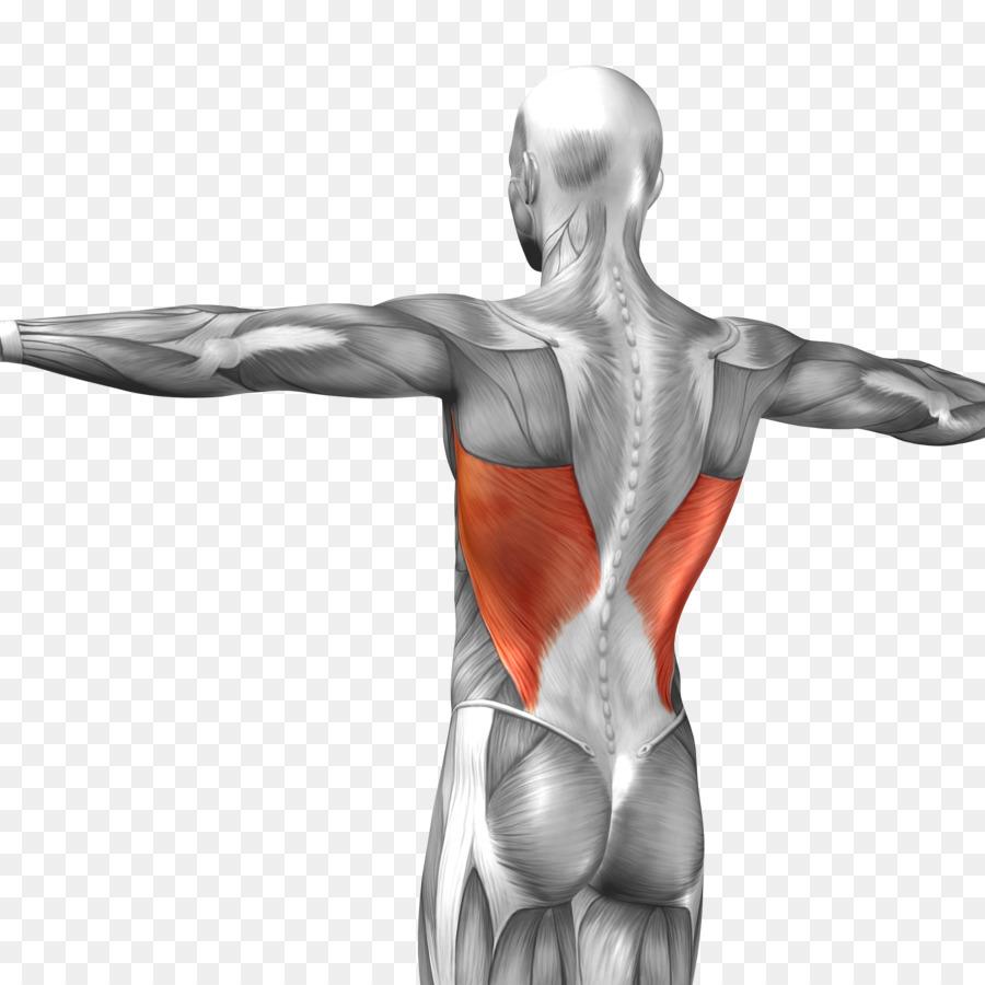 Latissimus dorsi muscle Triceps brachii muscle Rectus abdominis ...