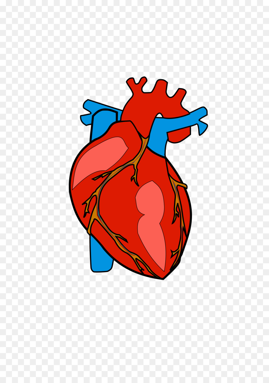 Heart Anatomy Clip art - Heart Body Cliparts png download - 1697 ...