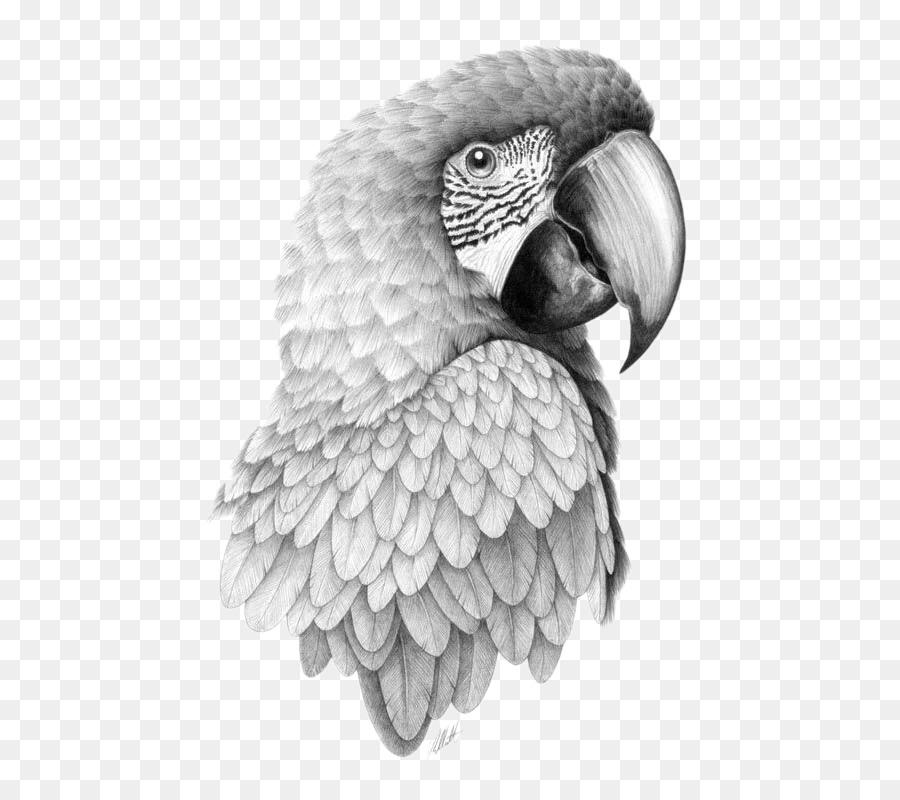 Parrot bird drawing pencil sketch parrot head