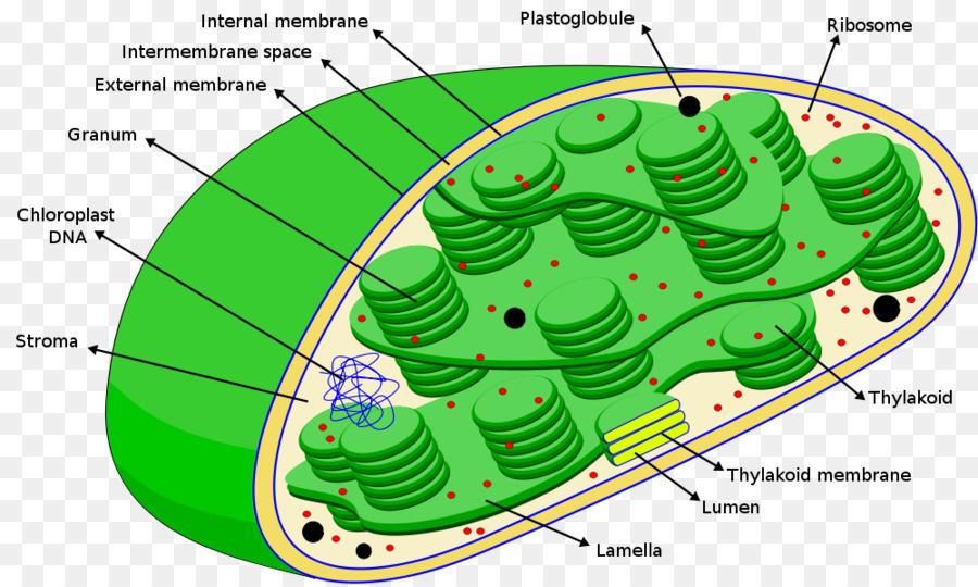 Internal chloroplast diagram download wiring diagrams chloroplast photosynthesis ribosome stroma thylakoid chloroplast rh kisspng com chloroplast diagram unlabeled simple chloroplast diagram ccuart Images