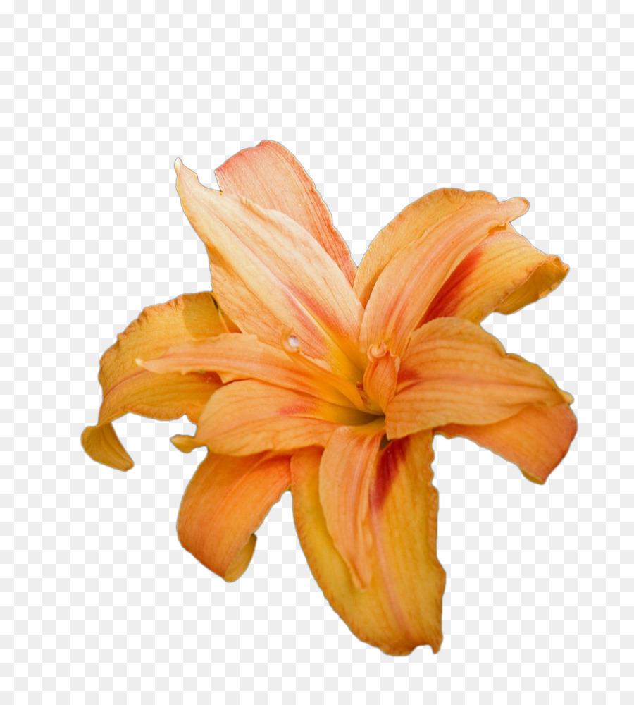 Lilium bulbiferum tiger lily easter lily arum lily clip art a lily lilium bulbiferum tiger lily easter lily arum lily clip art a lily izmirmasajfo