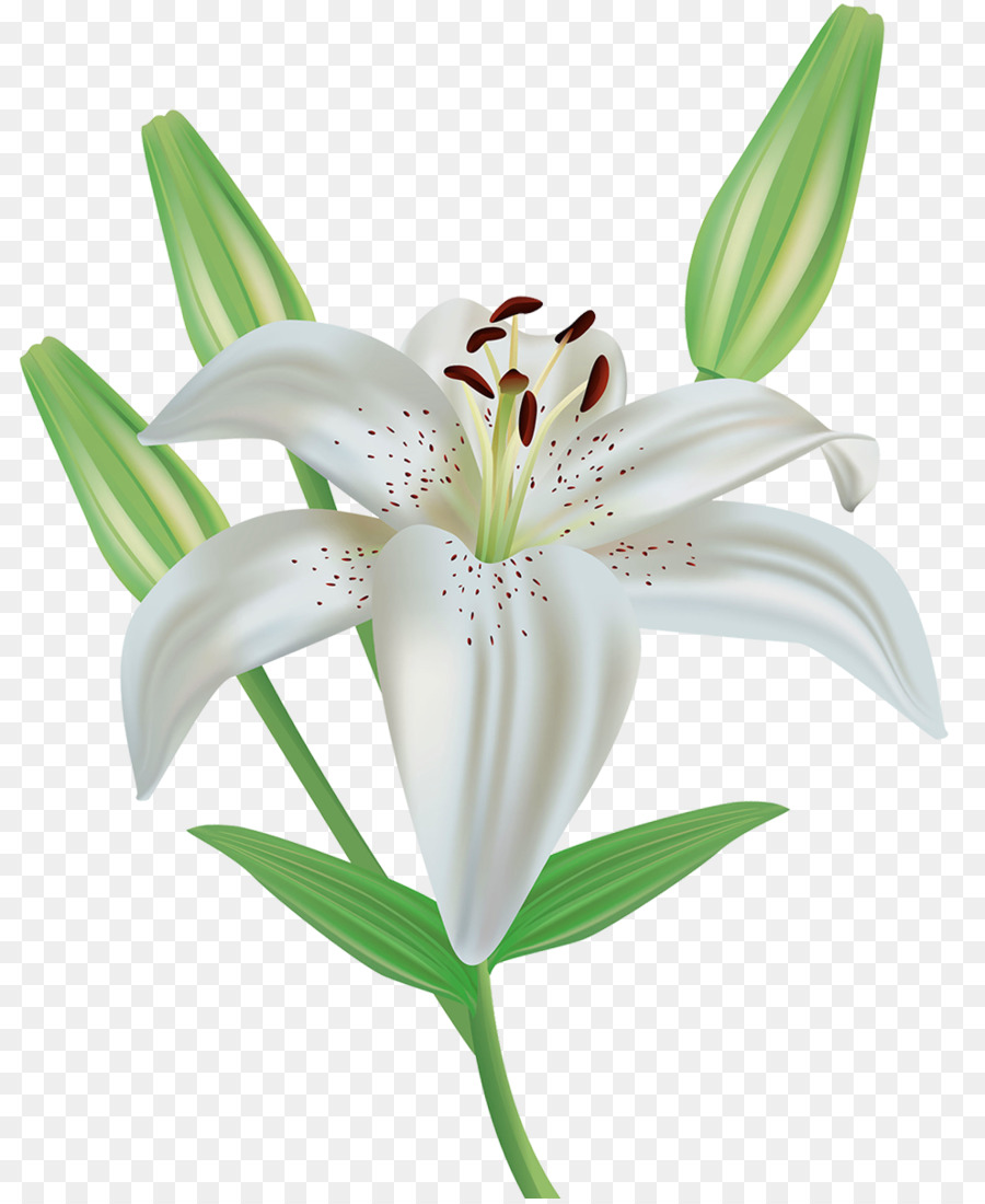 Easter Lily Flower Lilium Candidum Royalty Free Clip Art A Lily