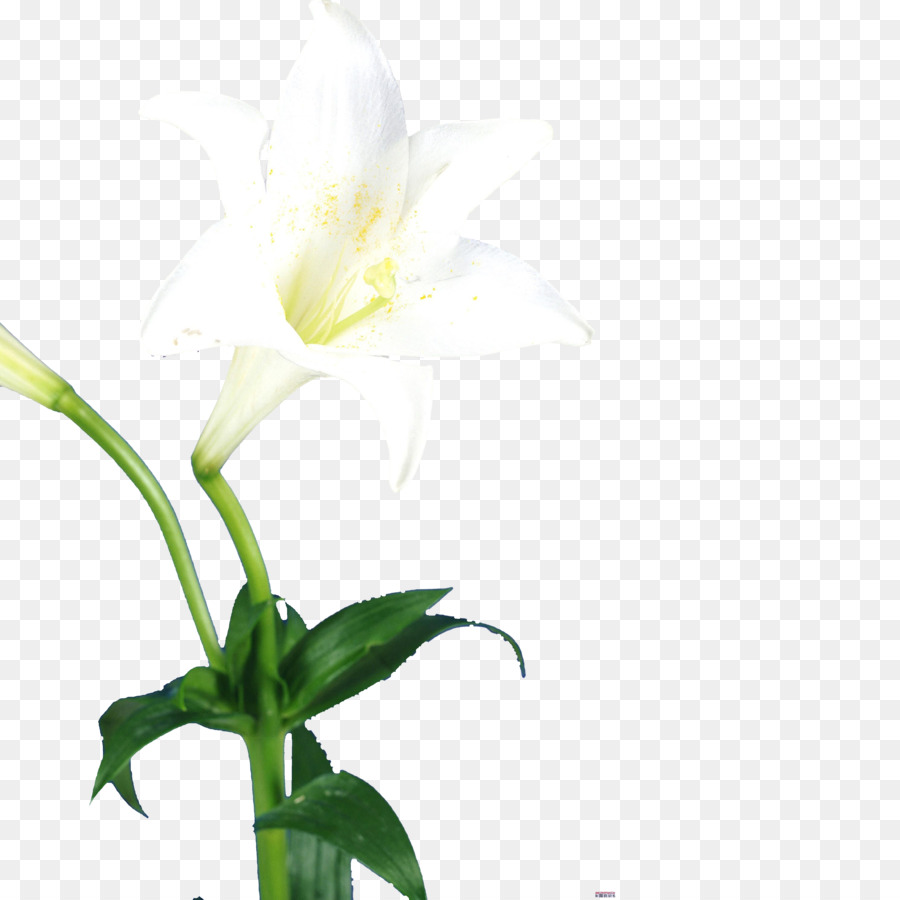 Lilium Flower Bud Single Lily Png Download 50005000 Free