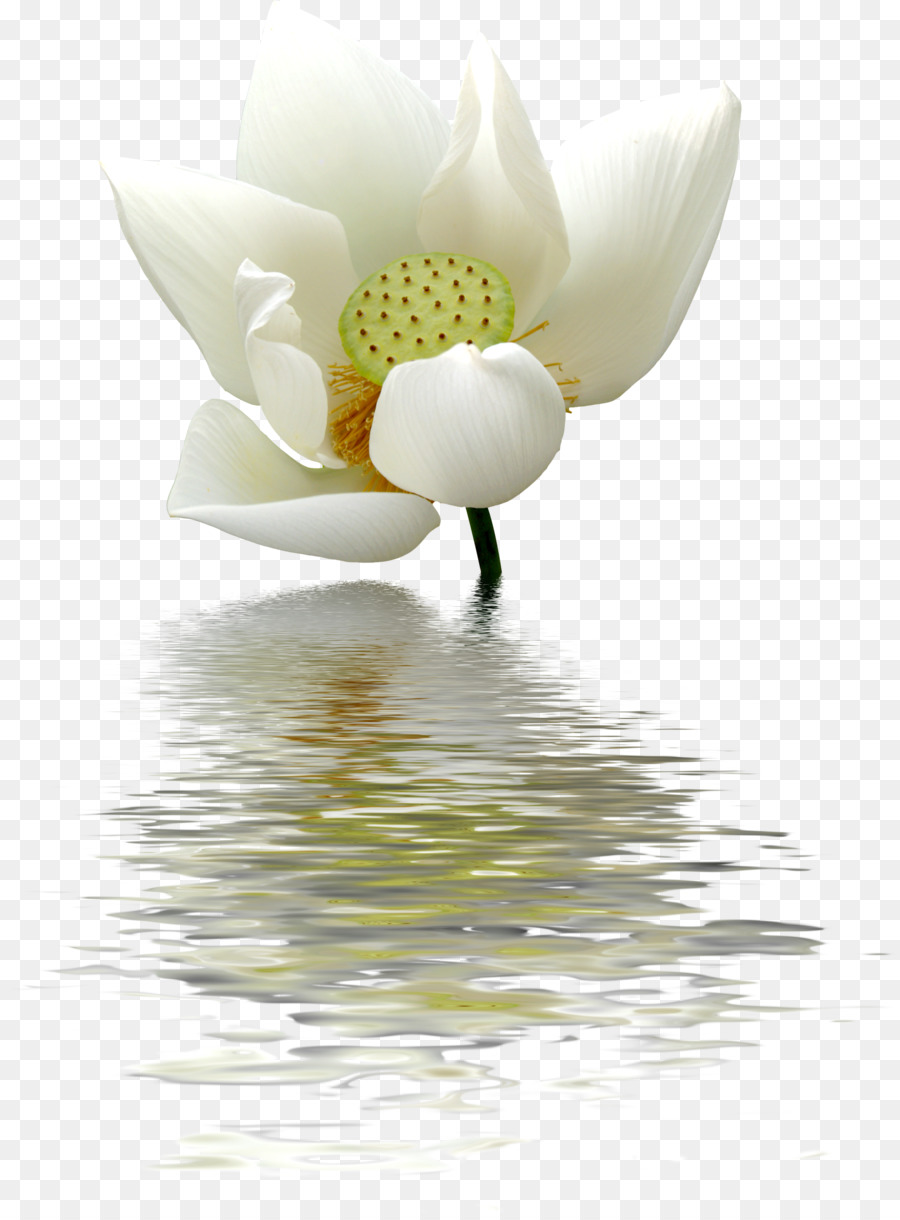 Nelumbo nucifera water lily white flower lotus pattern png nelumbo nucifera water lily white flower lotus pattern izmirmasajfo