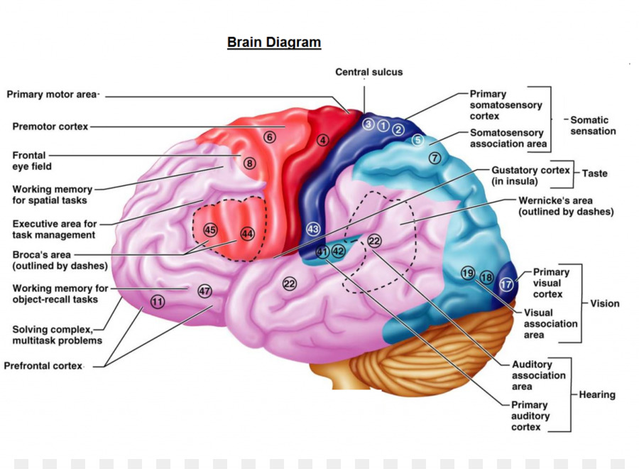 Cerebral Cortex Cerebrum Brain Function Primary Motor Cortex Brain