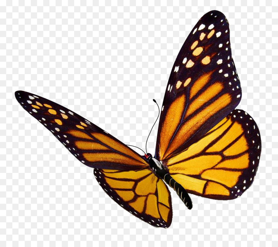 monarch butterfly insect clip art monarch butterfly png png download 909 800 free Whimsical Butterfly Clip Art Colorful Butterfly Clip Art