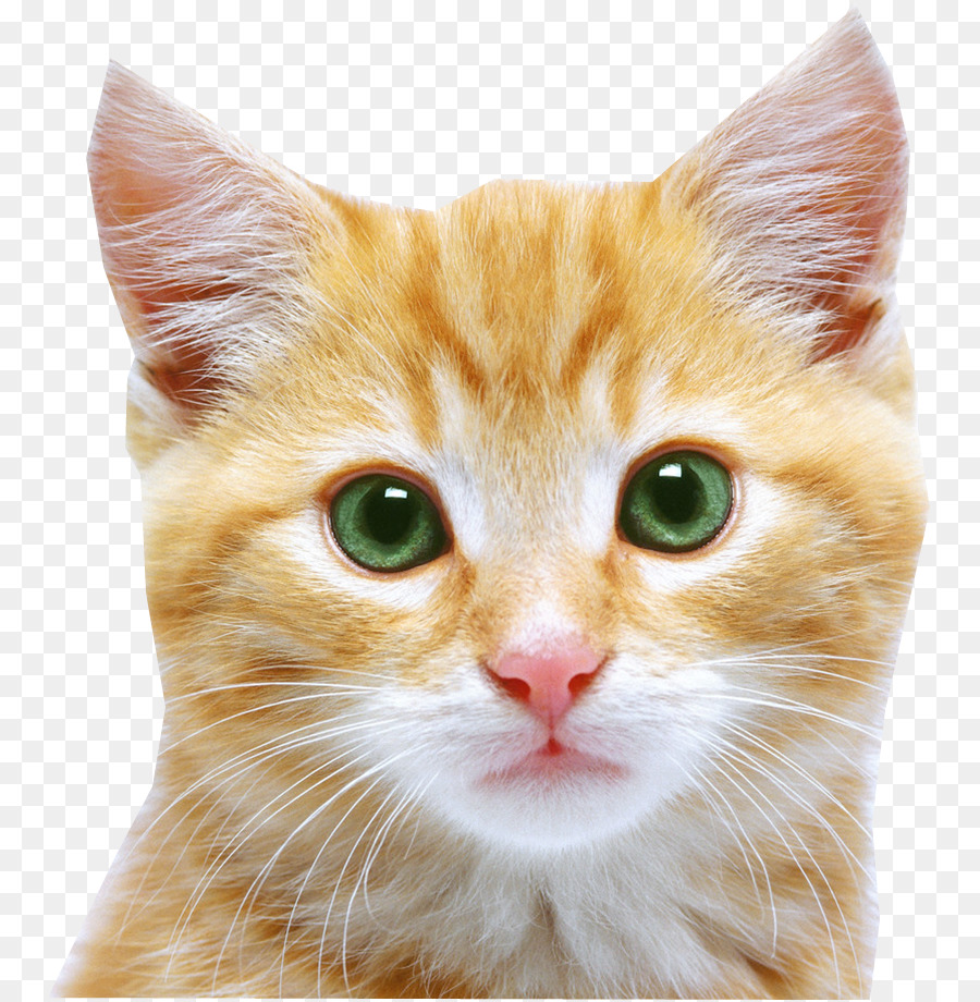 kitten feral cat puppy cat face png png download 809