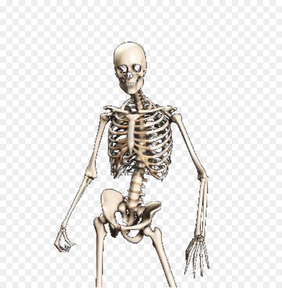 Human skeleton Skull Bone - Skeleton, Bones, Anatomy, Human Png png ...