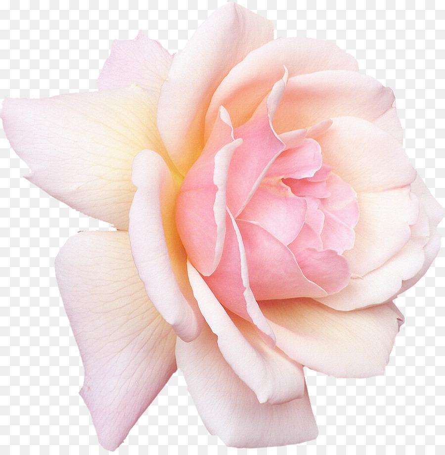 Rose white pink flower desktop wallpaper gull png download 1182 rose white pink flower desktop wallpaper gull mightylinksfo