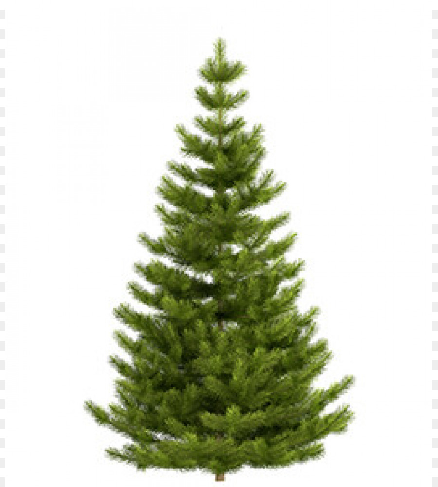Nordmann fir Noble fir Fraser fir Blue spruce Christmas tree - fir ...