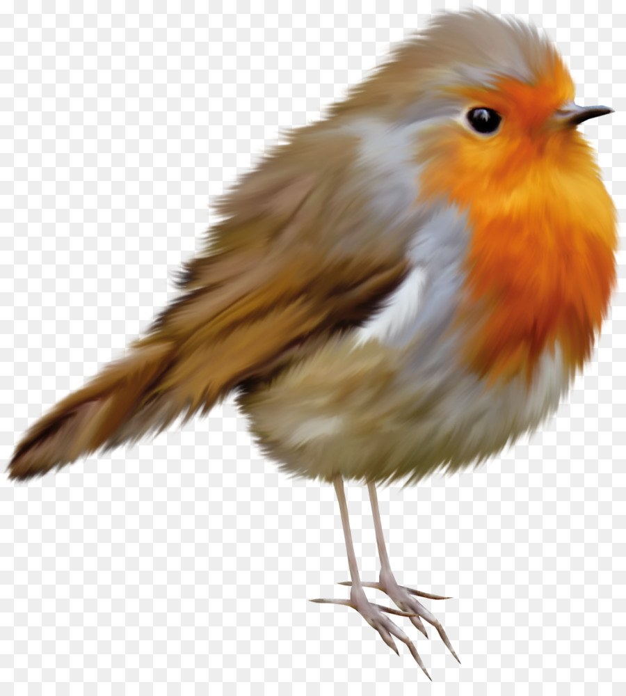 Birds robin. Bird png download free