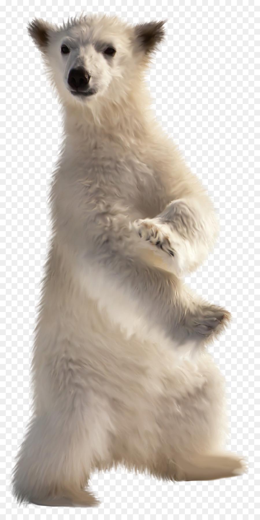Baby Polar Bear American Black Bear Desktop Wallpaper Polar Bear