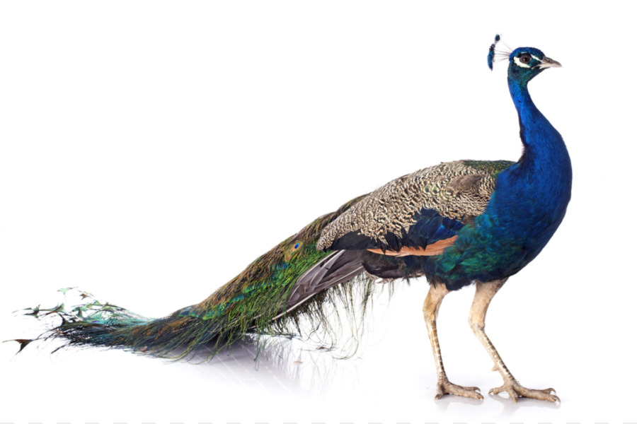Bird Asiatic Peafowl Female Stock Photography