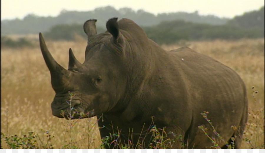 Rhinoceros Snout png download - 1920*1080 - Free Transparent