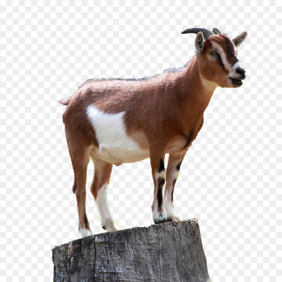Boer Goat Caprinae Sheep Mountain Goat Goat Png Download