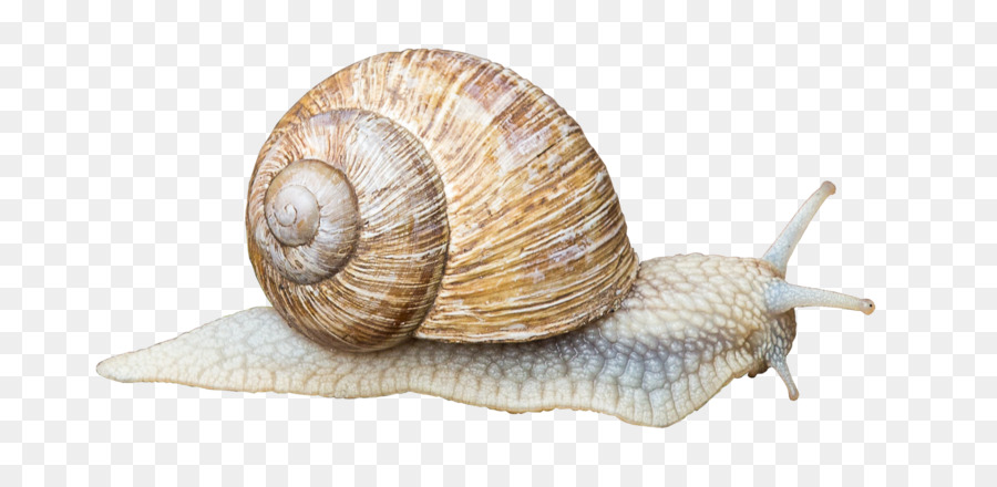 Gastropods Land Snail Gastropod Shell Animal Snails Png Download