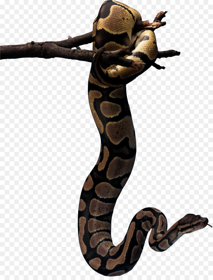 Reptiles mordedura de Serpiente pitón roca Africana Ophidiophobia ...
