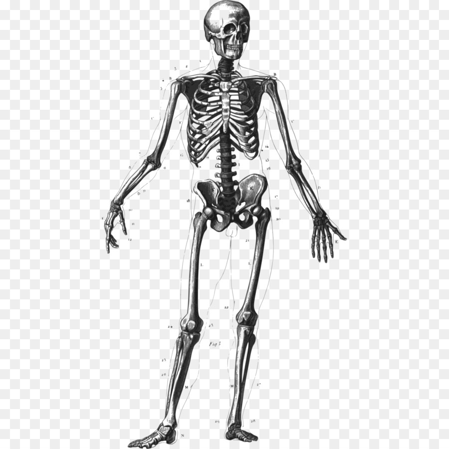 Human Skeleton Bone Human Body Homo Sapiens Anatomy Bones Skeleton