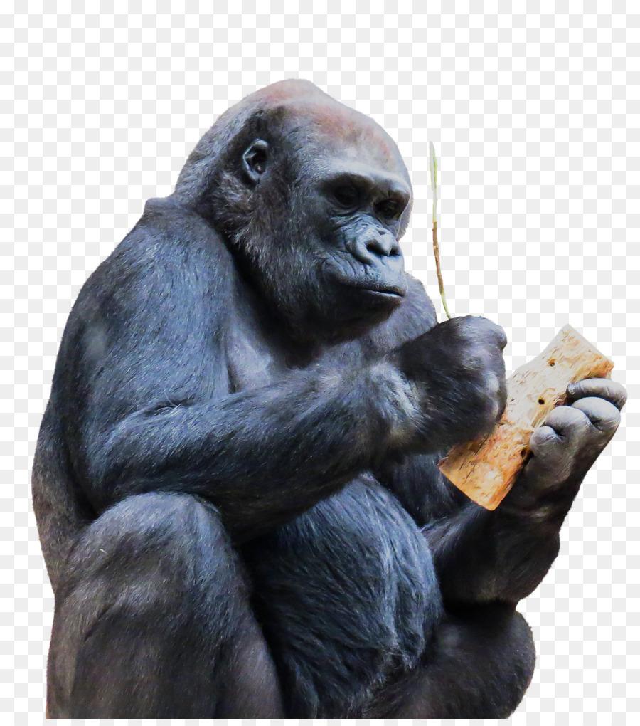 Schimpanse Gorilla Affe Affen Zu Den Primaten - Gorilla png