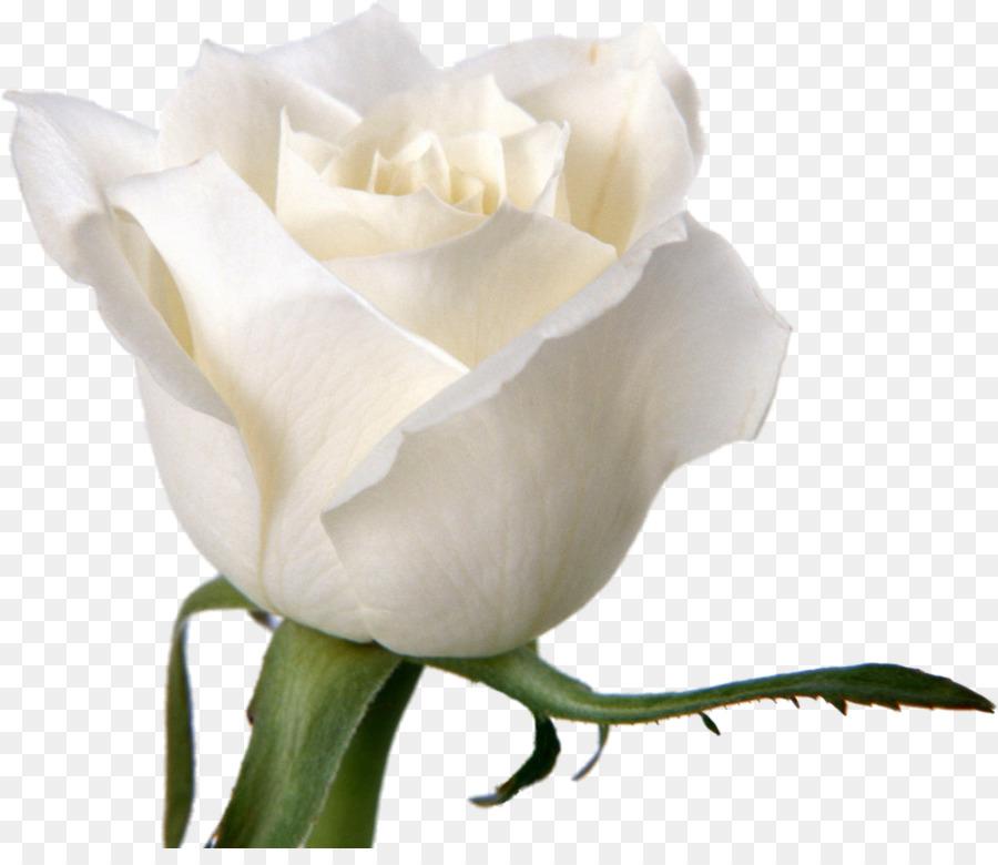 Flower rose white desktop wallpaper petal white roses png download flower rose white desktop wallpaper petal white roses mightylinksfo