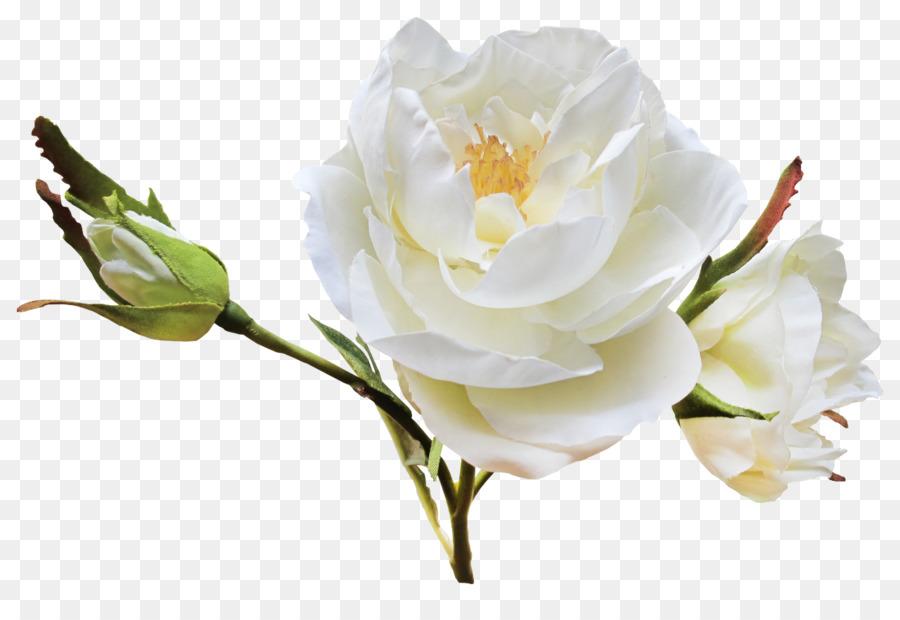 Flower Garden Roses Centifolia Clip Art White