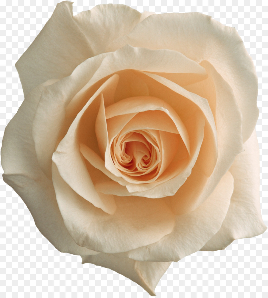 Color Photography Rose Black And White Pink White Roses Png