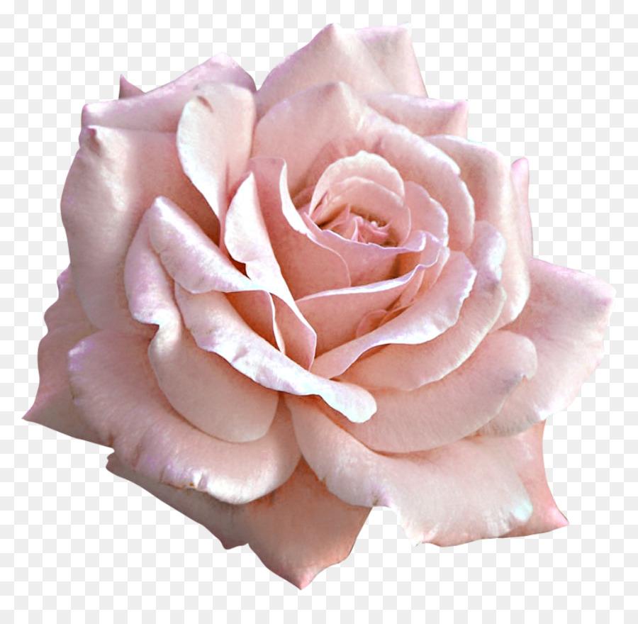 Light Rose Pink Clip Art Rose Png Download 1024983 Free