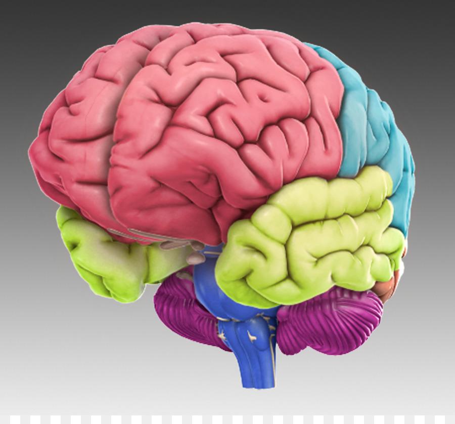 Dolan Dna Learning Center Brain Initiative Brain App Das Menschliche