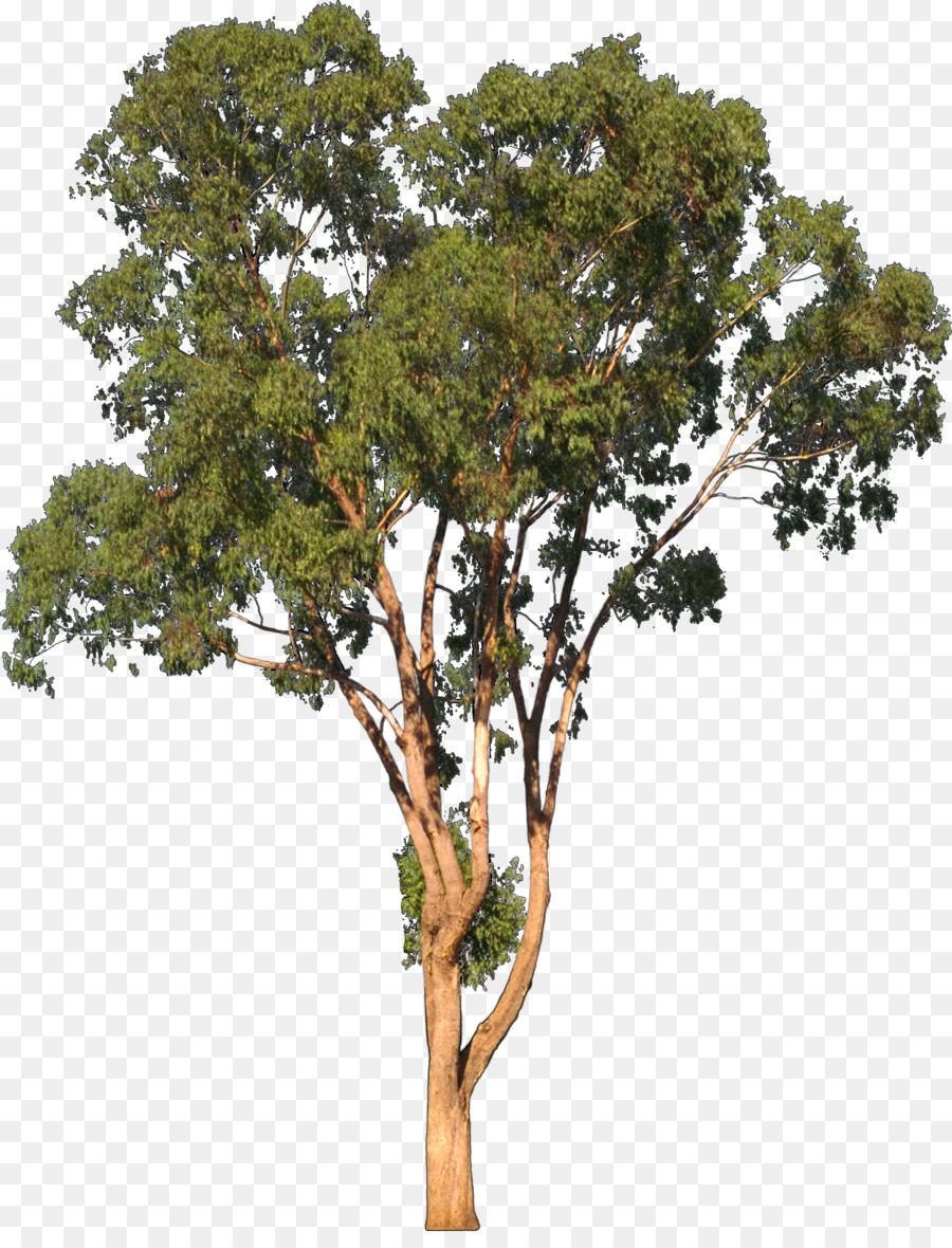 Eucalyptus camaldulensis Tree Shrub Clip art - eucalyptus ... (900 x 1180 Pixel)