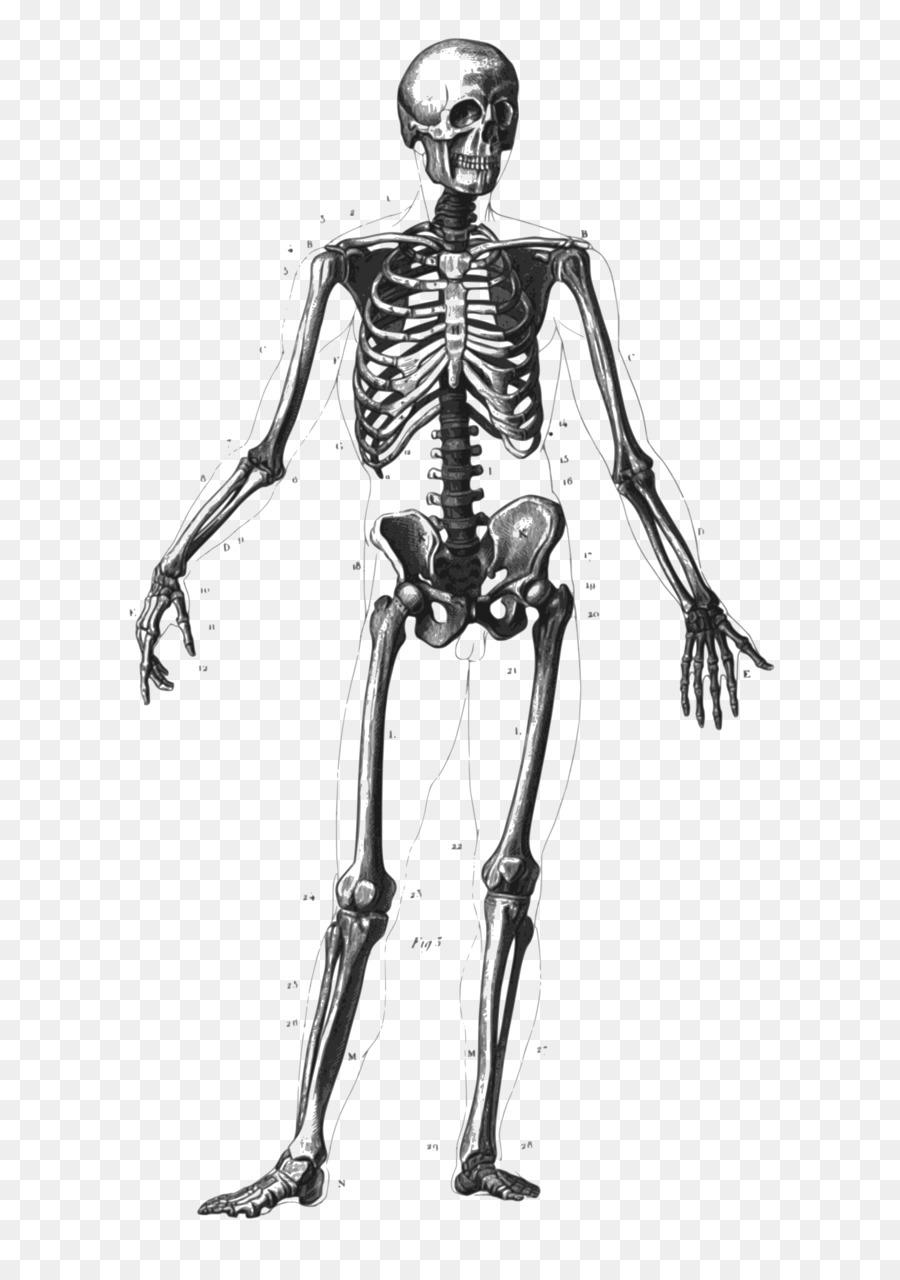 Esqueleto humano Huesos del cuerpo Humano Anatomía Diagrama ...