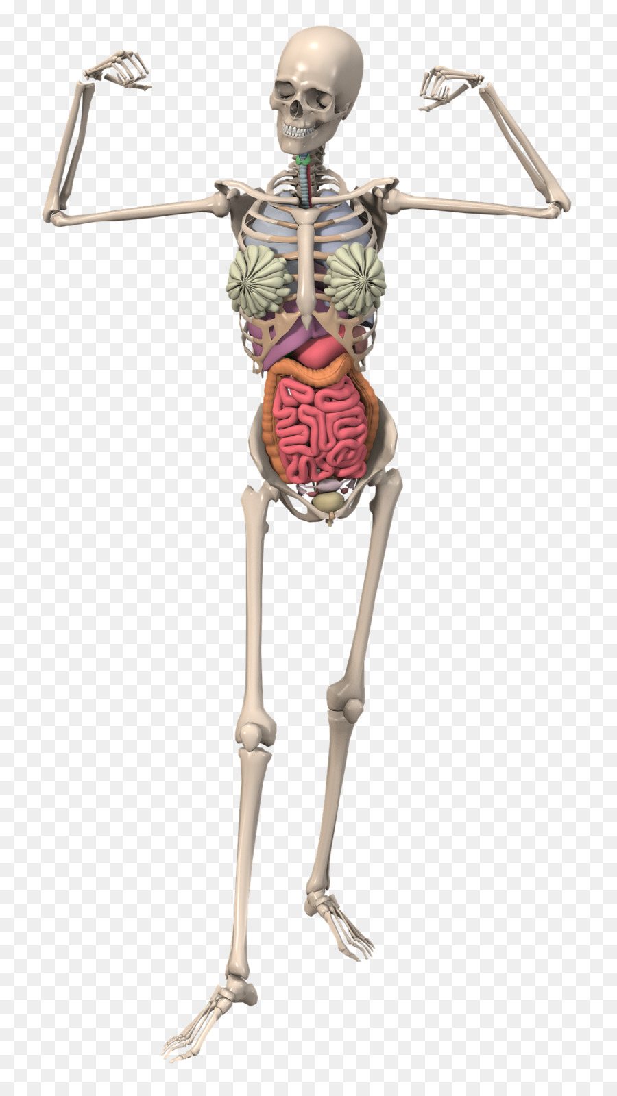 The Skeletal System Anatomy Human Skeleton Bone Skeleton Png