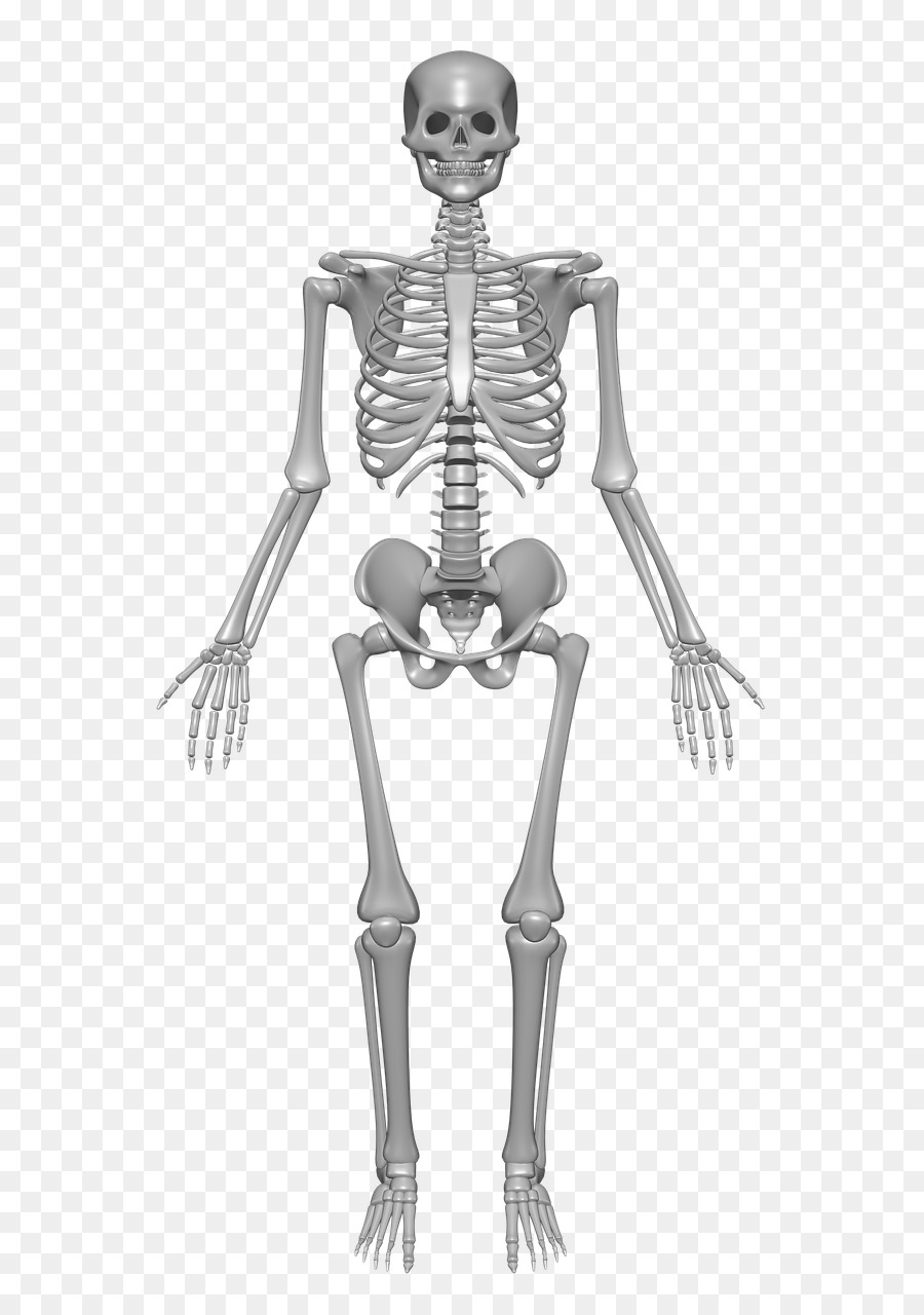 Human skeleton Human body Anatomy Bone - Skeleton png download - 856 ...