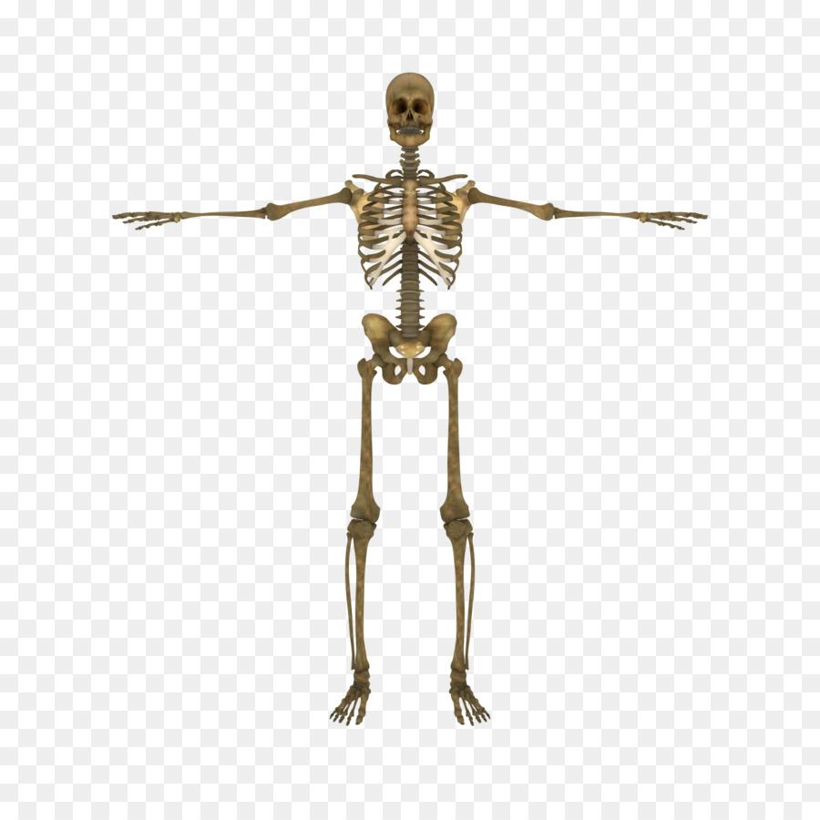 Esqueleto humano cuerpo Humano de la columna Vertebral, el Hueso ...