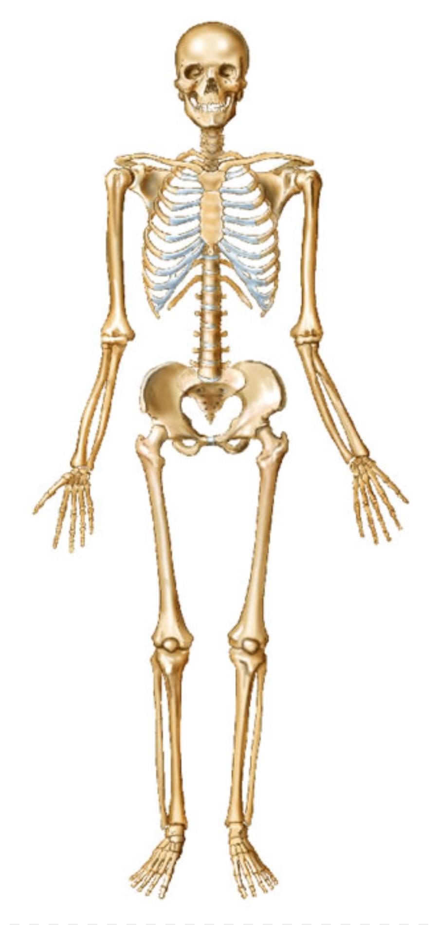 Esqueleto humano Huesos del cuerpo Humano Conjunta - Esqueleto ...
