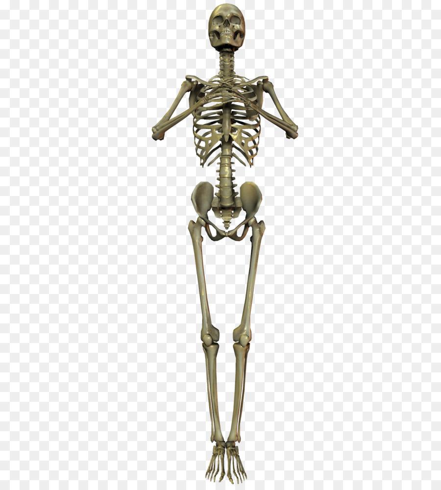 Esqueleto humano Huesos del Cráneo - Esqueleto Formatos De Archivo ...