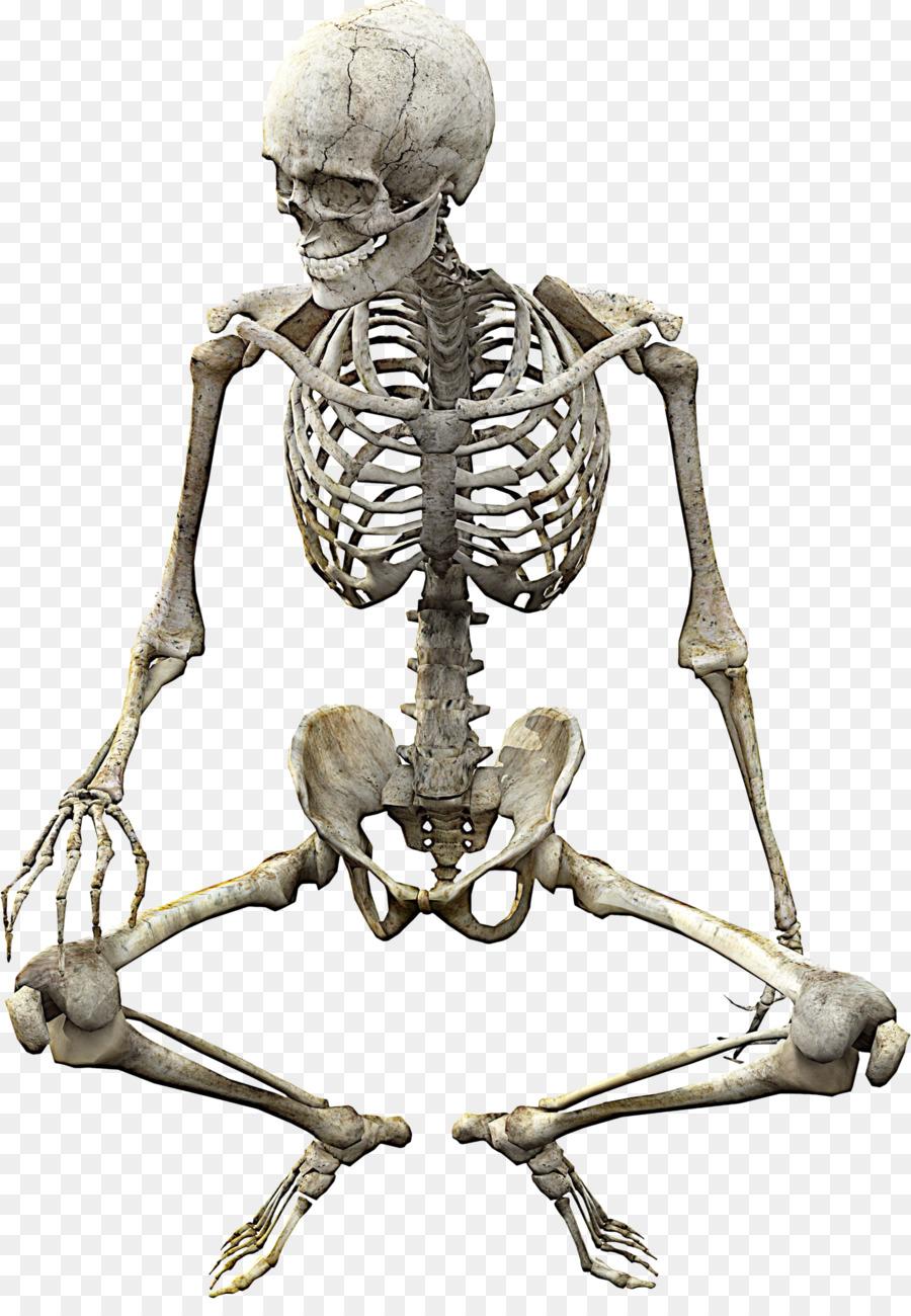 Human Skeleton Skull Anatomy Bone Skeleton Png Download 1426
