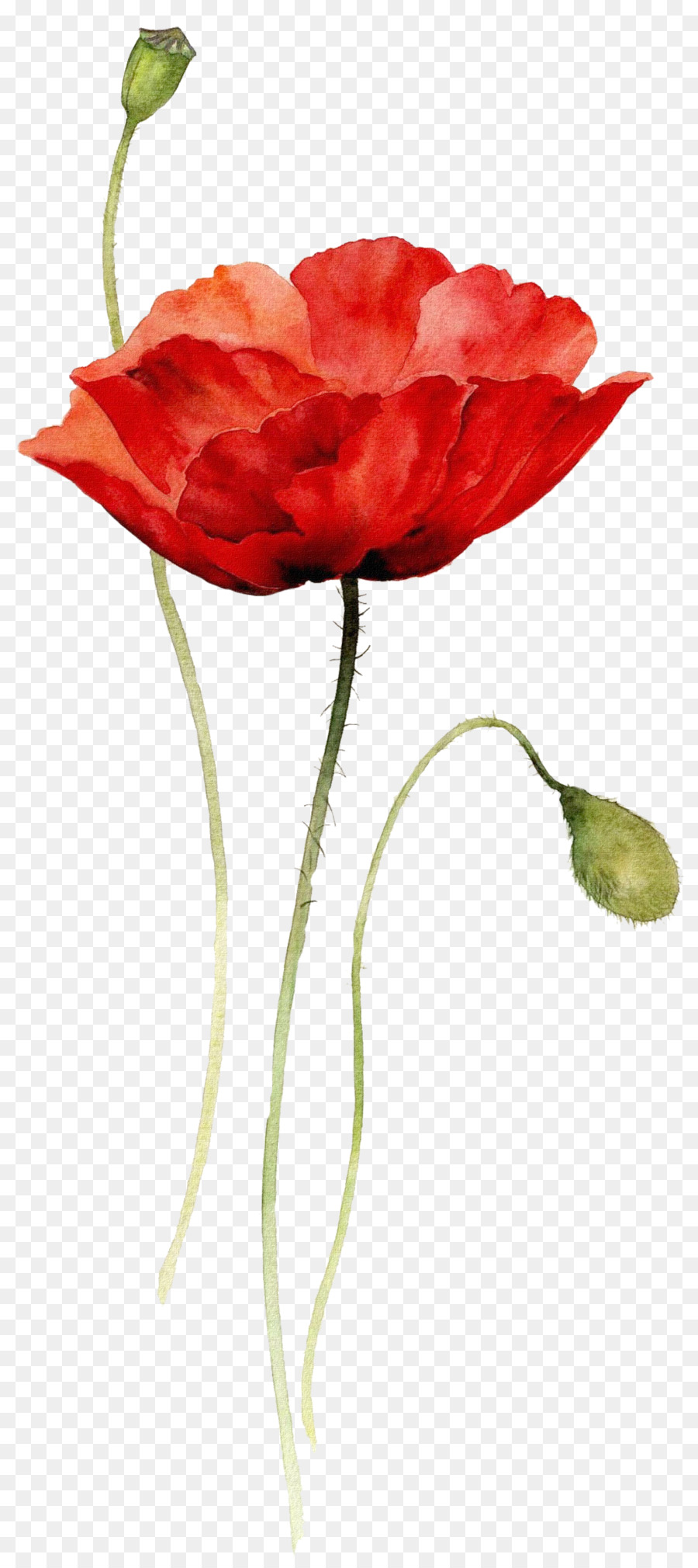 Watercolor Painting Drawing Flower Poppy Watercolor Flowers Png