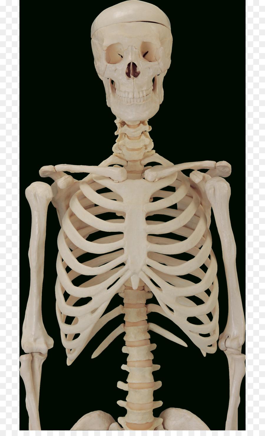 El Sistema óseo, el Hueso de la Anatomía del esqueleto Humano ...