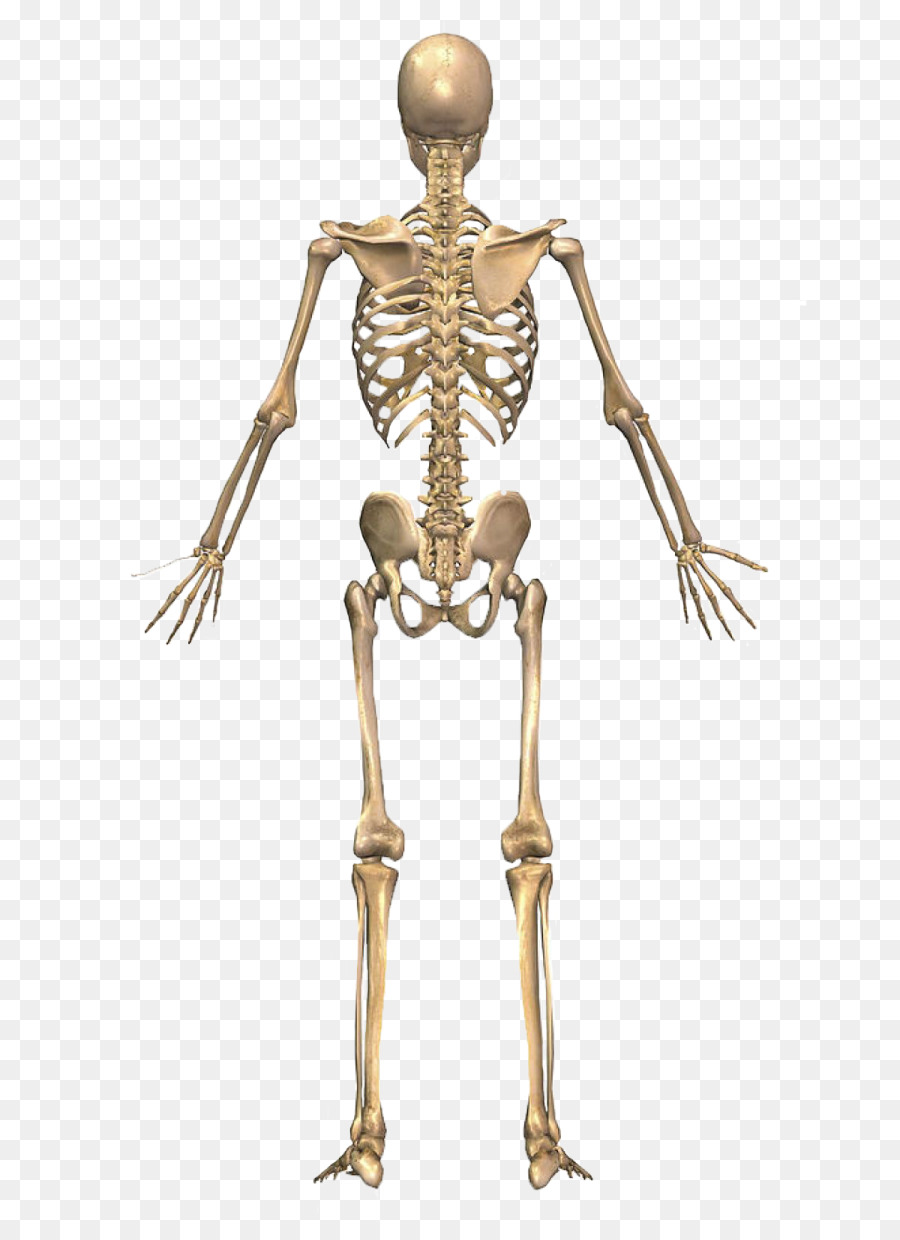 The Skeletal System Human Skeleton Human Back Human Body Skeleton