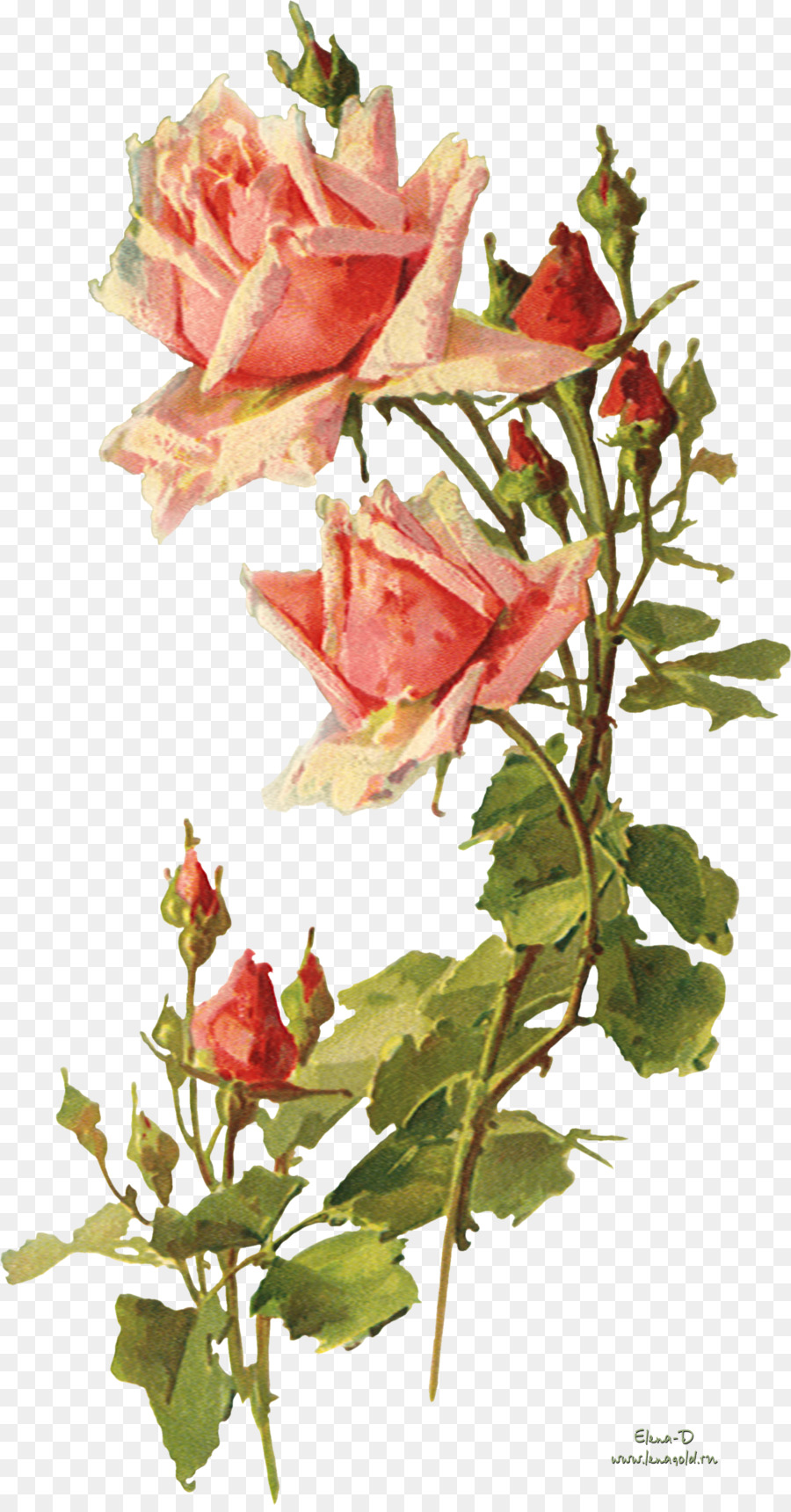 Garden Roses Flower Vintage Clothing Clip Art Watercolor