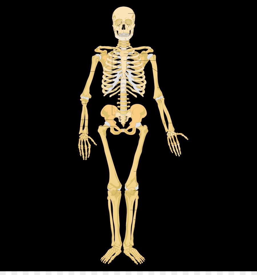 El Sistema Esquelético Humano esqueleto de la Etiqueta de la ...