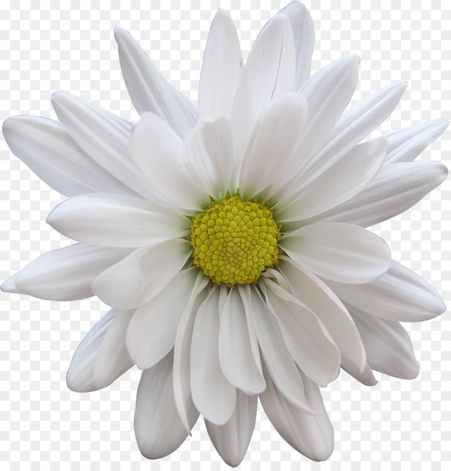 Cut flowers petal transvaal daisy white flower png download 1156 cut flowers petal transvaal daisy white flower izmirmasajfo