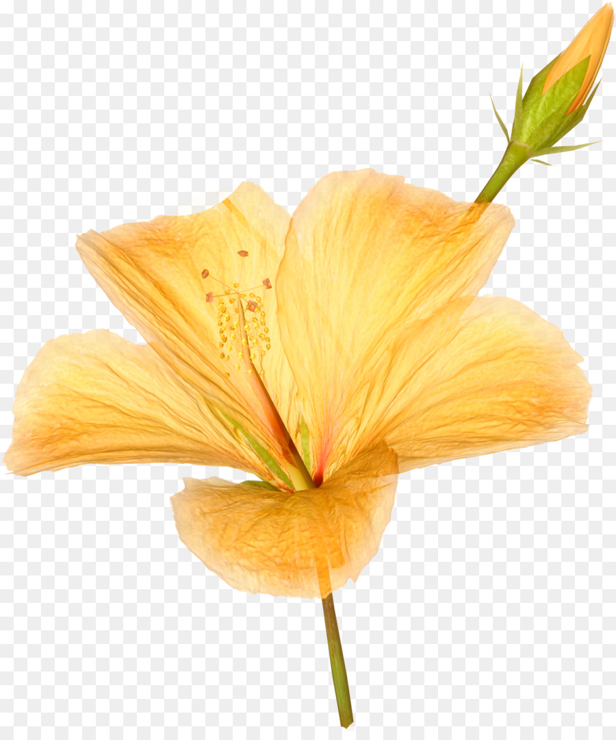 Hawaiian Hibiscus Flower Flowers Png Download 13501600 Free
