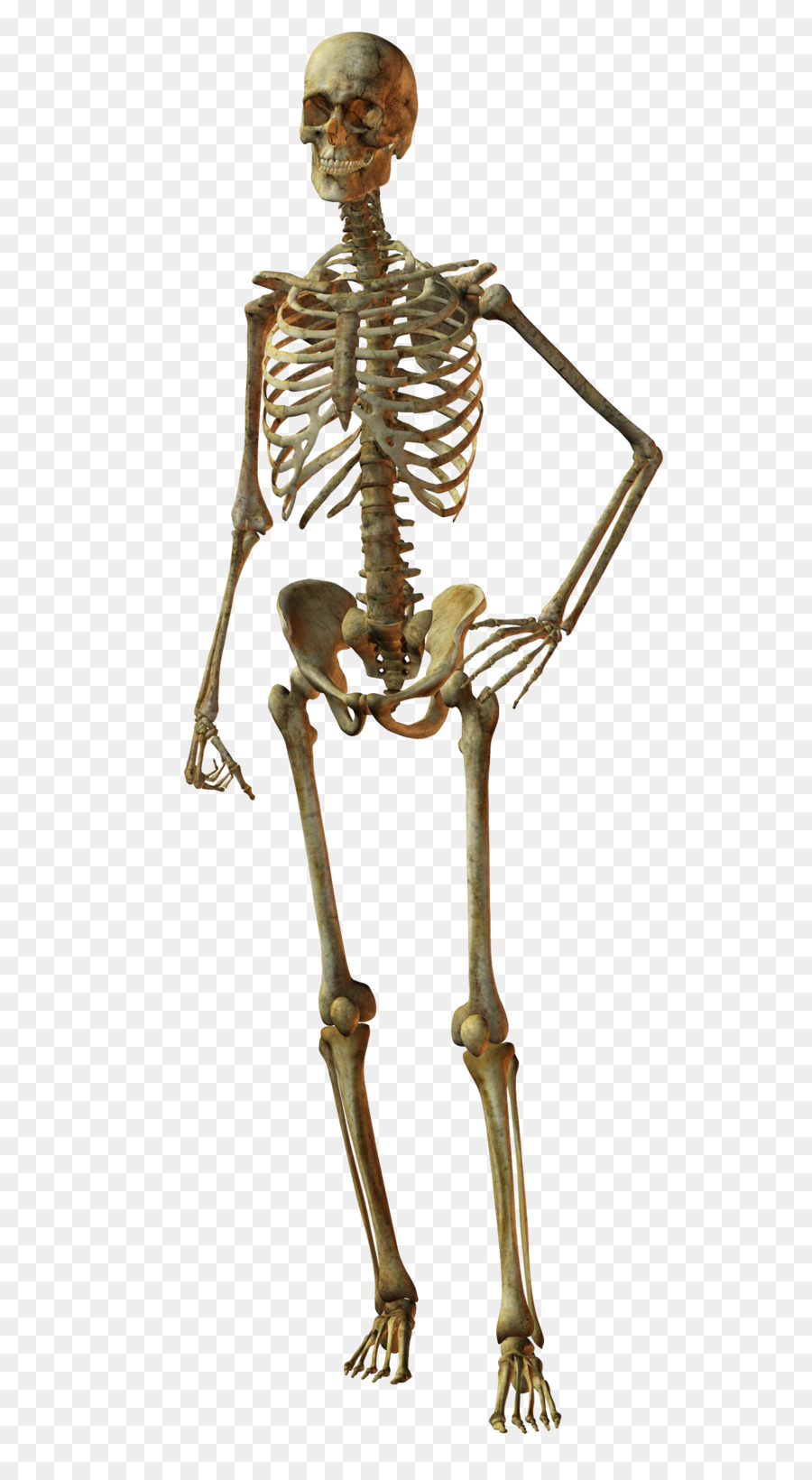 Bone Human Skeleton Skull Human Body Skeleton Png Download 1500